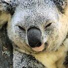 Koala Love 1 by Stuart Rocks