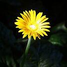 Yellow Burst by Stuart Rocks
