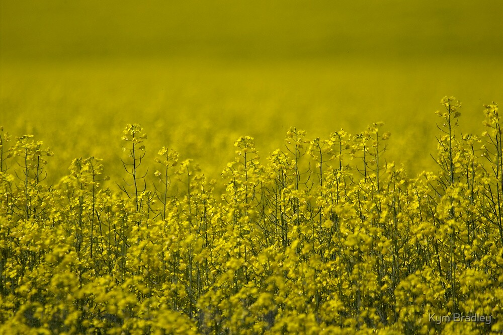 Field Of  Dreams  Canola  NSW  Australia  by Kym Bradley
