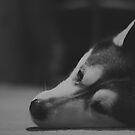 Husky Noir by iltby