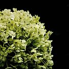 Hydrangea Flower head by Karen  Betts