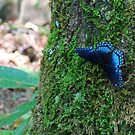Blue Butterfly in Appalachian Trail by principiante