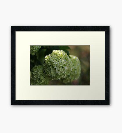 Snowball Flowers Framed Print