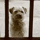 Border Terrier - Waiting at the Door by MelTho