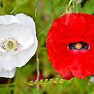Poppies by Orla Cahill Photography
