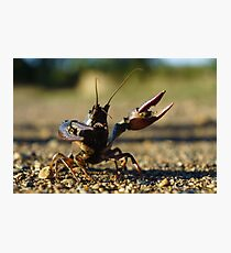 Combative Crawfish Photographic Print