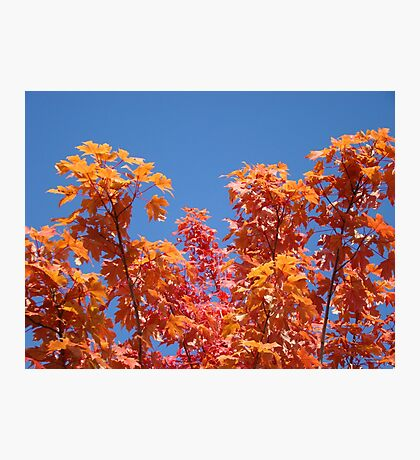 Blue Sky Sunny Red Orange Autumn Leaves art prints Photographic Print
