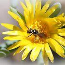 Allodapula variegata  by Rina Greeff