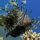 Lion fish, Egypt by M De Freitas