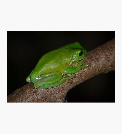 Australian Green Tree Frog Photographic Print