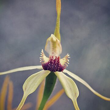 clubbed spider orchid by AmyesPhotograph