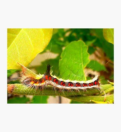 Acronicta psi caterpillar Photographic Print