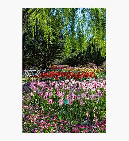 Tulip Top Gardens Photographic Print