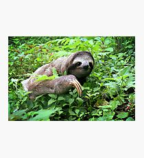 Brown-throated Three-toed Sloth Photographic Print