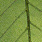 Green Leaf Close Up by pjwuebker