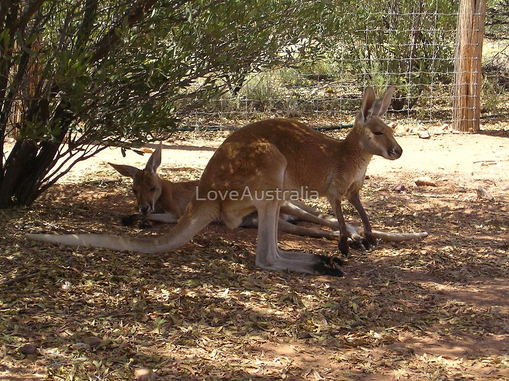 Kangaroo's in the Shade by LoveAustralia