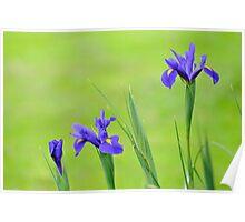 iris array Poster
