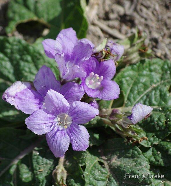 Flower - Segesta by Francis Drake