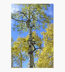 Aspen with a Twist Photographic Print