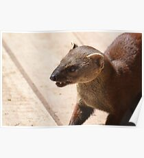 I'm A Ring Tailed Mongoose Poster