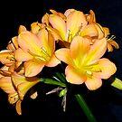 Clivia#4, Blackburn Flower Show, Melbourne, Australia. by johnrf
