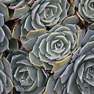 Succulent Patterns by Helen Greenwood