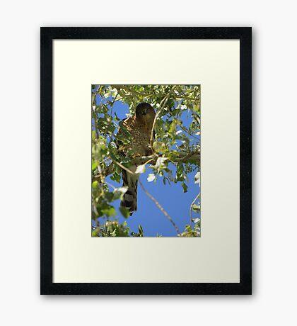 Coopers Hawk ~ Camera Ham Framed Print