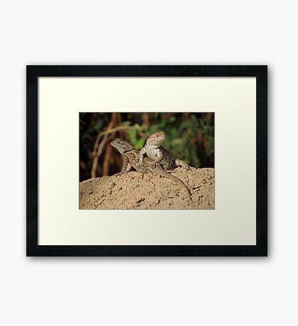 Desert Spiny Lizard (Juveniles) Framed Print