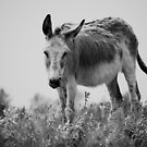 Equine Donkey Black and White by jamieleigh
