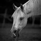 Arabian Horse Black and White by jamieleigh