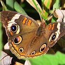 The Buckeye Butterfly by lorilee