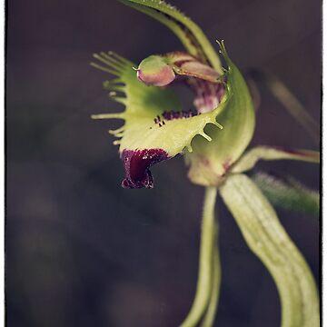 Caladenia attigens subsp attigens by AmyesPhotograph