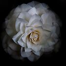 White Rose by Alastair Creswell