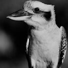 Kookaburra Black & White by odarkeone