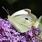 Large White butterfly by Rivendell7