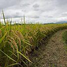 Rice Field by Colin  Ewington