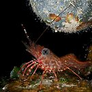 Tiny dancing shrimp in the rocks by Natalia Pryanishnikova