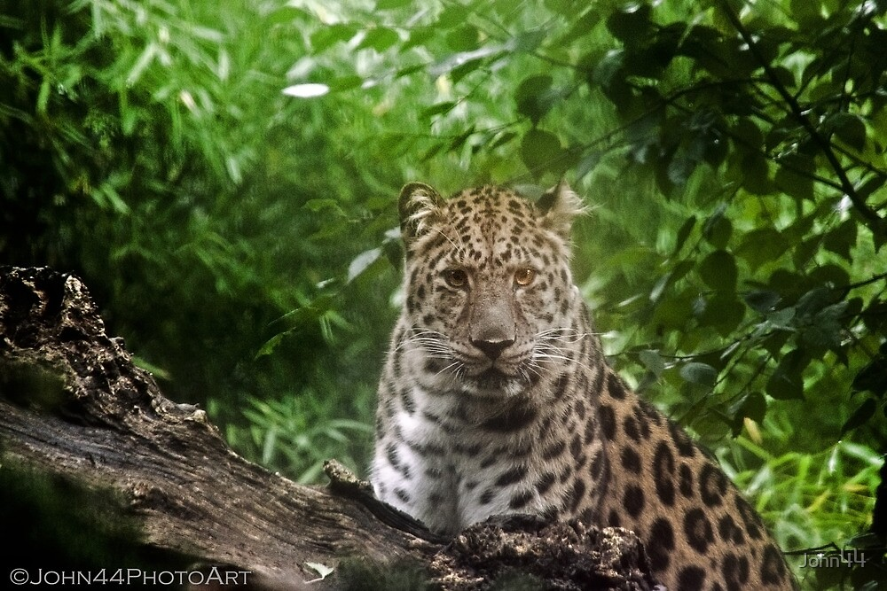 ..the Leopard and the first sunbeams... by John44