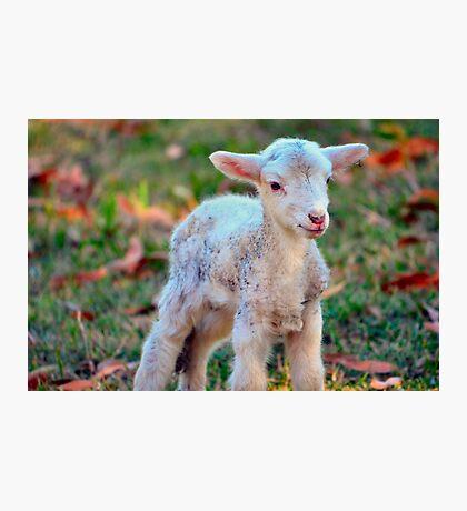 Newborn Lamb Photographic Print
