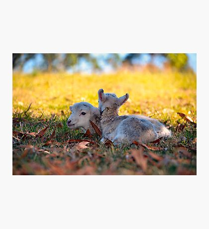 Twin Lambs Photographic Print