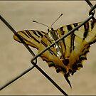 Yellow Butterfly by dedakota