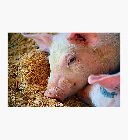 This Little Piggy Photographic Print