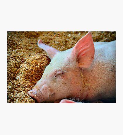 Sleepy Pig Photographic Print