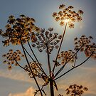 Sunlight through plant seedhead by Hugh McKean