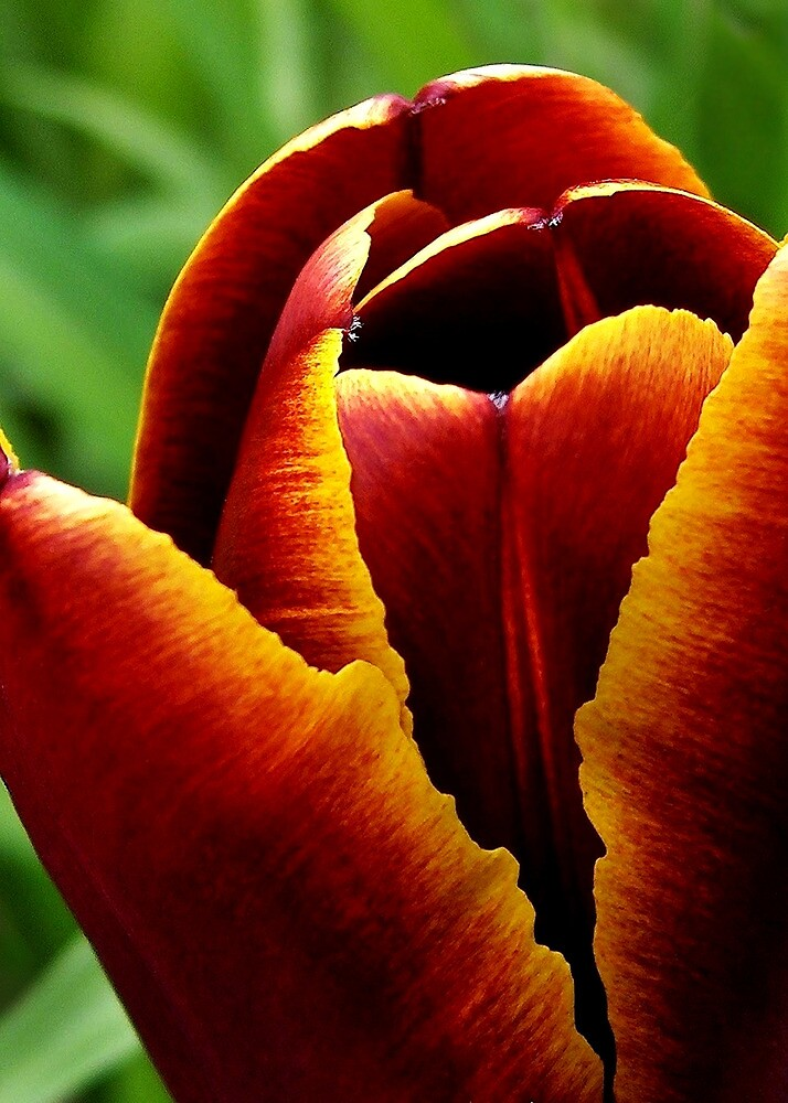Tulip Flame by Kathilee