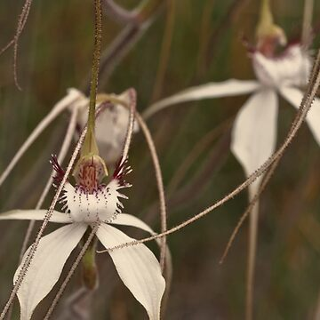 Splendid spider orchids by AmyesPhotograph