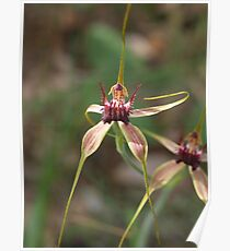 Spider Orchid at Wireless Hill Poster