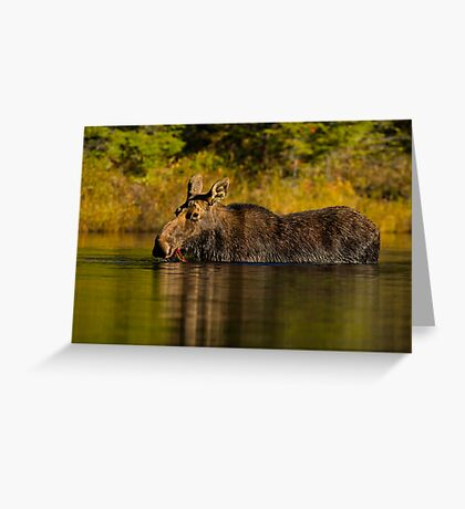 Feeding Moose Greeting Card