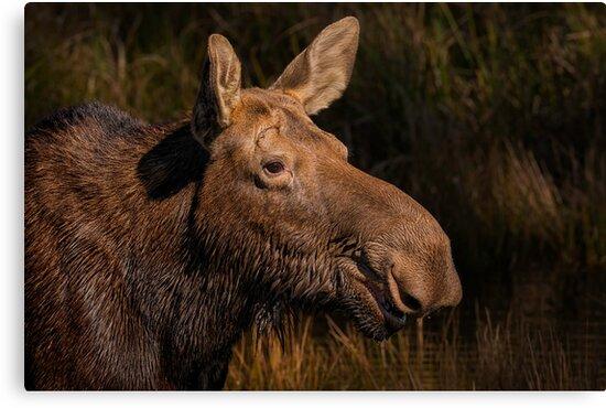 Moose portrait by Daniel  Parent