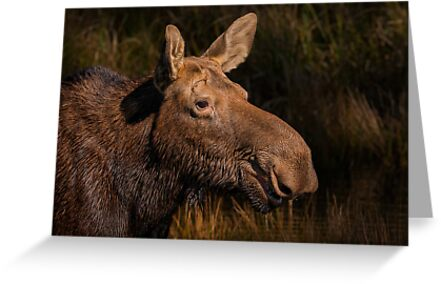 Moose portrait by Daniel  Parent